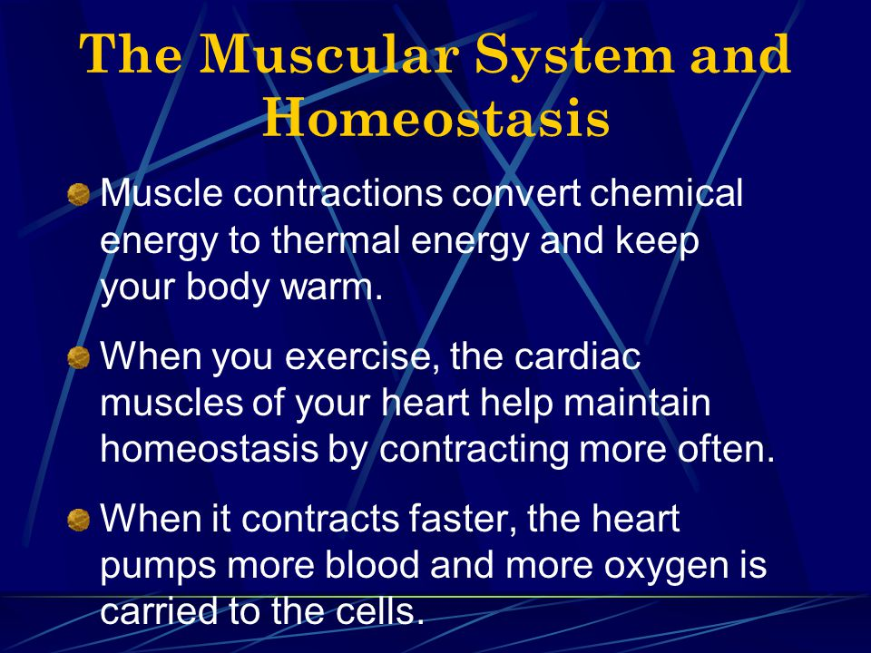 The Muscular System and Homeostasis Muscle contractions convert chemical energy to thermal energy and keep your body warm. When you exercise, the card