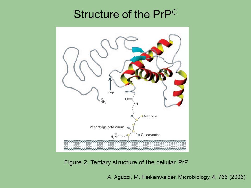 Structure of the PrP C Figure 2. Tertiary structure of the cellular PrP A. Aguzzi, M. Heikenwalder, Microbiology, 4, 765 (2006)