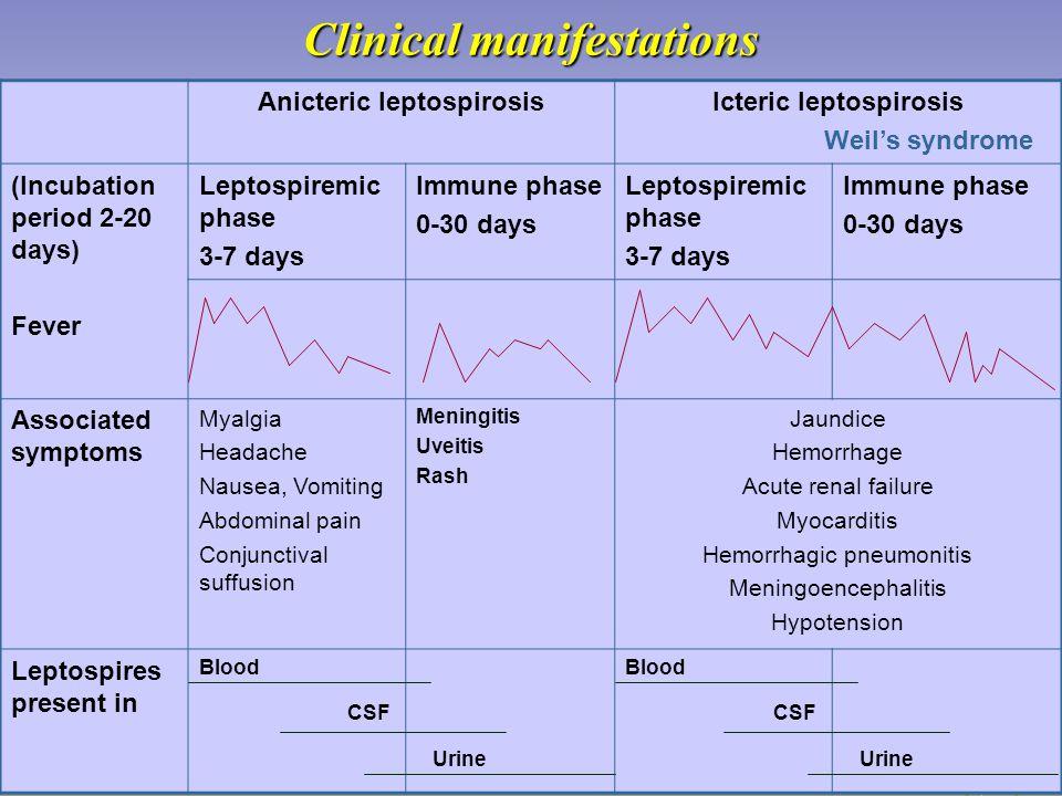 Clinical manifestations Anicteric leptospirosisIcteric leptospirosis Weil's syndrome (Incubation period 2-20 days) Fever Leptospiremic phase 3-7 days Immune phase 0-30 days Leptospiremic phase 3-7 days Immune phase 0-30 days Associated symptoms Myalgia Headache Nausea, Vomiting Abdominal pain Conjunctival suffusion Meningitis Uveitis Rash Jaundice Hemorrhage Acute renal failure Myocarditis Hemorrhagic pneumonitis Meningoencephalitis Hypotension Leptospires present in Blood CSF Urine