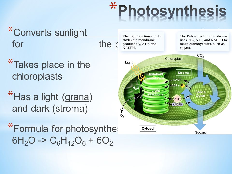 Now what uses the glucose made during photosynthesis?
