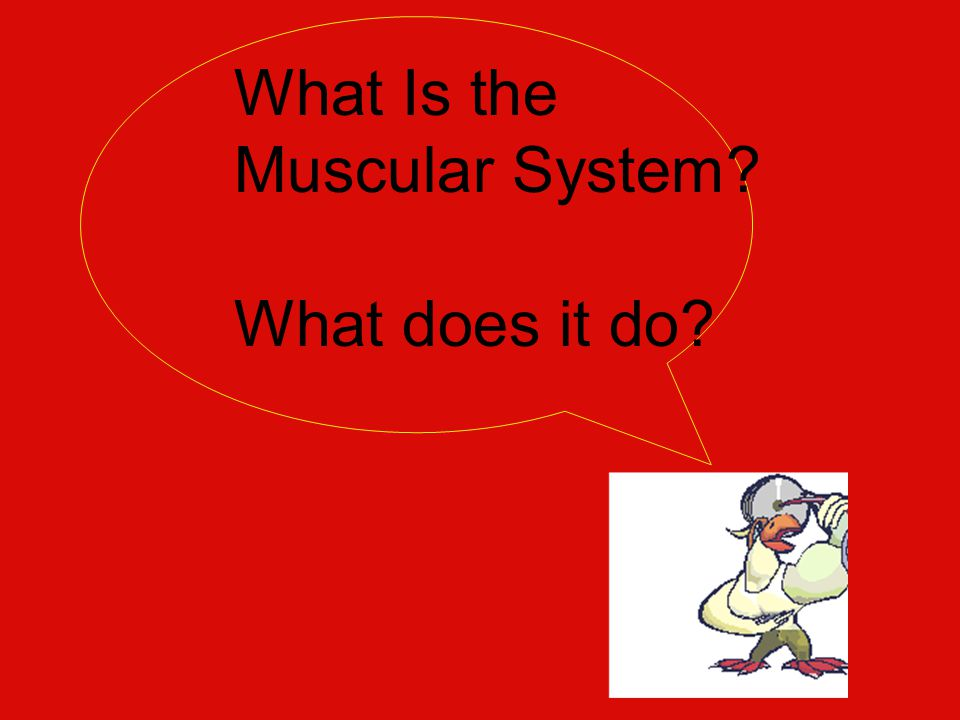 What Is the Muscular System? What does it do?
