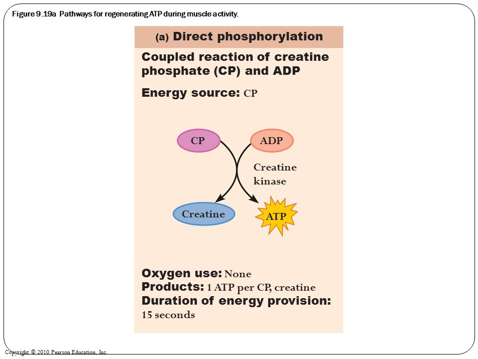 Copyright © 2010 Pearson Education, Inc. Figure 9.19a Pathways for regenerating ATP during muscle activity. Coupled reaction of creatine phosphate (CP