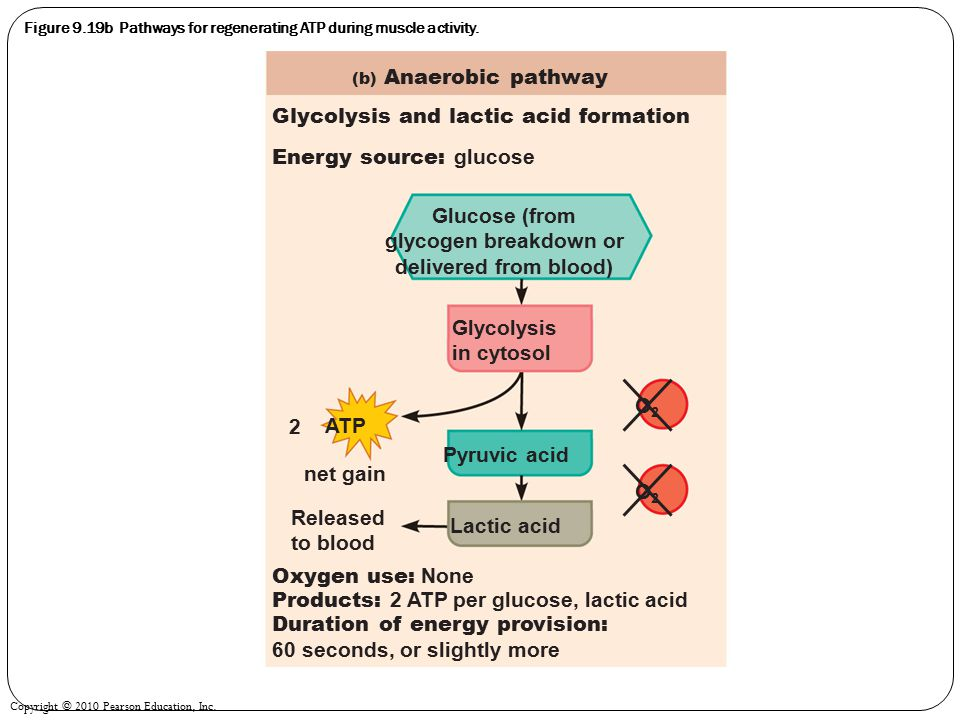 Copyright © 2010 Pearson Education, Inc. Figure 9.19b Pathways for regenerating ATP during muscle activity. Energy source: glucose Glycolysis and lact