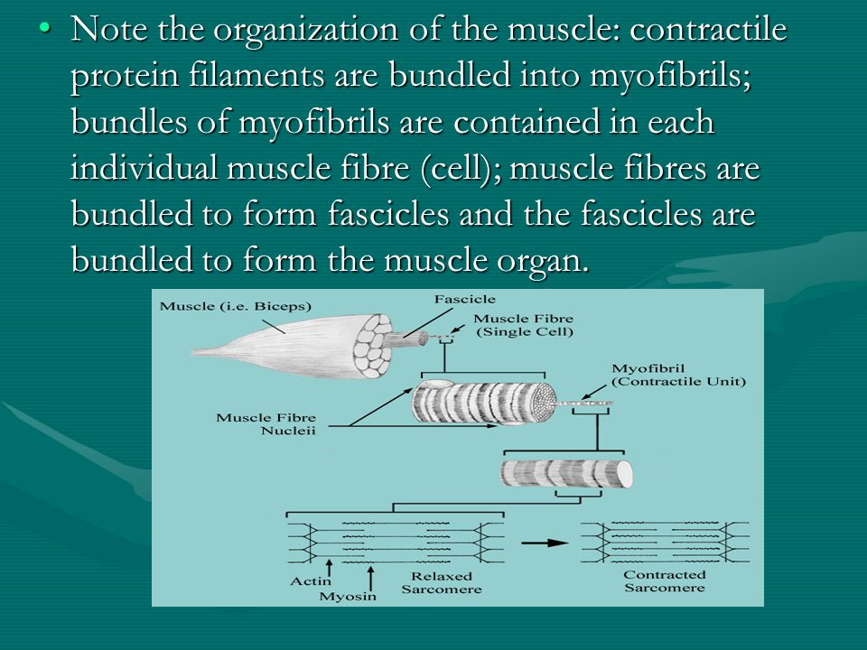 Cardiac Muscle Rectangular in shape with a single nucleus Intercalated discs facilitate stimulus conduction b/w cells to function as a unit Visible striations Forceful but not as much as skeletal muscle No oxygen debt or muscle fatigue Needs no external stimulus
