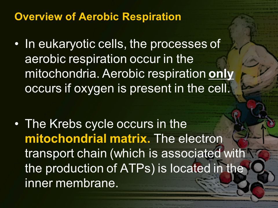 Overview of Aerobic Respiration In eukaryotic cells, the processes of aerobic respiration occur in the mitochondria.