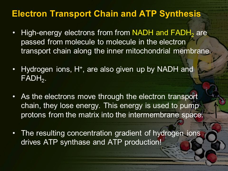 Electron Transport Chain and ATP Synthesis High-energy electrons from from NADH and FADH 2 are passed from molecule to molecule in the electron transport chain along the inner mitochondrial membrane.