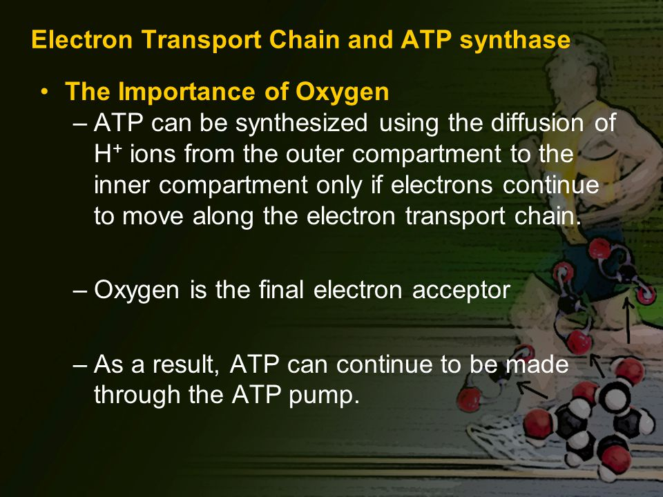 Electron Transport Chain and ATP synthase The Importance of Oxygen –ATP can be synthesized using the diffusion of H + ions from the outer compartment to the inner compartment only if electrons continue to move along the electron transport chain.