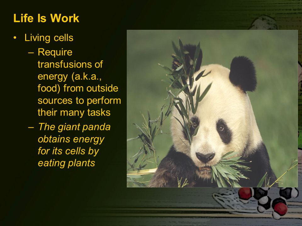 Life Is Work Living cells –Require transfusions of energy (a.k.a., food) from outside sources to perform their many tasks –The giant panda obtains energy for its cells by eating plants