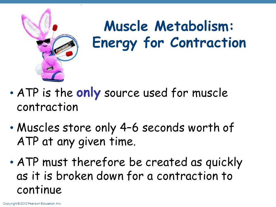 Copyright © 2010 Pearson Education, Inc. Muscle Metabolism: Energy for Contraction ATP is the only source used for muscle contraction Muscles store on