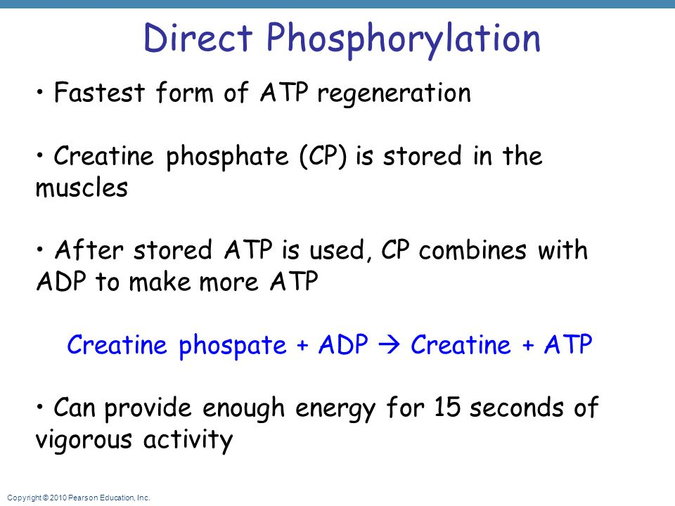 Copyright © 2010 Pearson Education, Inc. Direct Phosphorylation Fastest form of ATP regeneration Creatine phosphate (CP) is stored in the muscles Afte