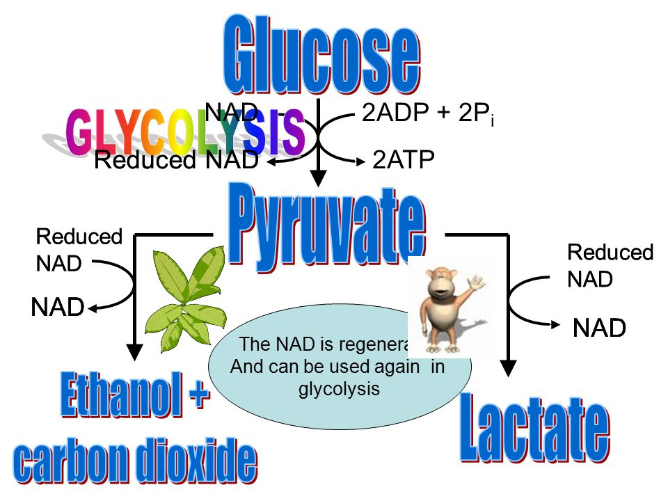 2ADP + 2P i 2ATP NAD Reduced NAD NAD The NAD is regenerated And can be used again in glycolysis NAD Reduced NAD NAD