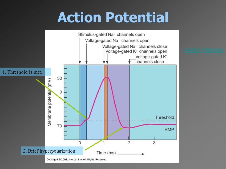 Action Potential 1. Threshold is met. 2. Brief hyperpolarization. Action Potential
