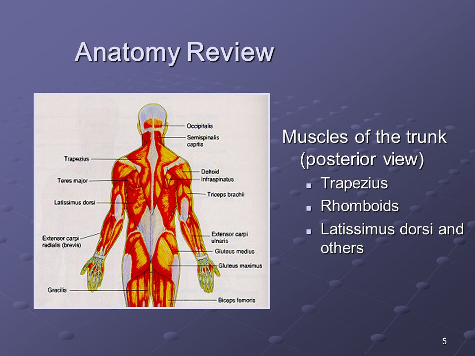 5 Anatomy Review Muscles of the trunk (posterior view) Trapezius Rhomboids Latissimus dorsi and others