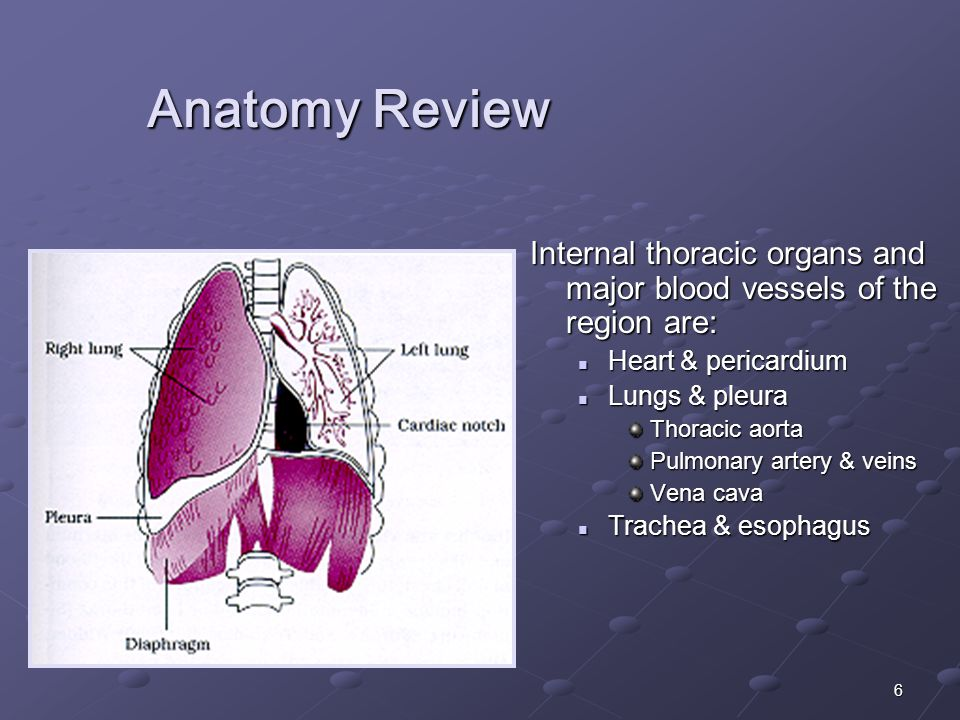 6 Anatomy Review Internal thoracic organs and major blood vessels of the region are: Heart & pericardium Lungs & pleura Thoracic aorta Pulmonary artery & veins Vena cava Trachea & esophagus