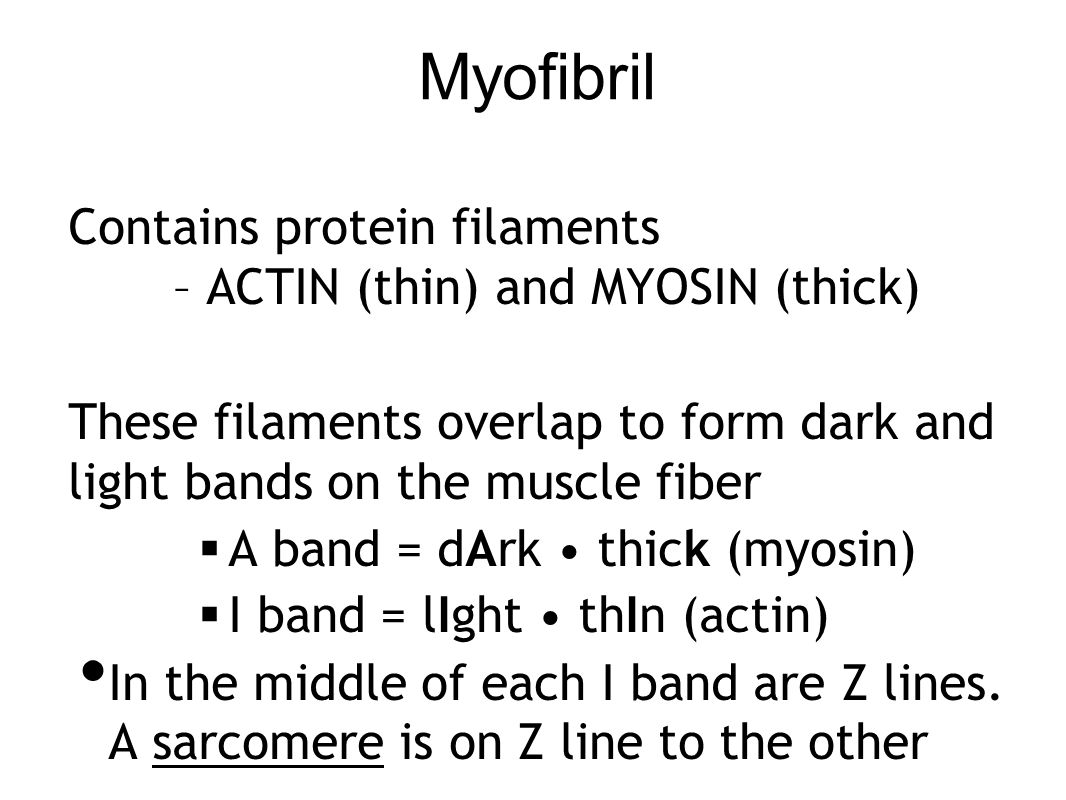 Myofibril Contains protein filaments – ACTIN (thin) and MYOSIN (thick) These filaments overlap to form dark and light bands on the muscle fiber  A ba