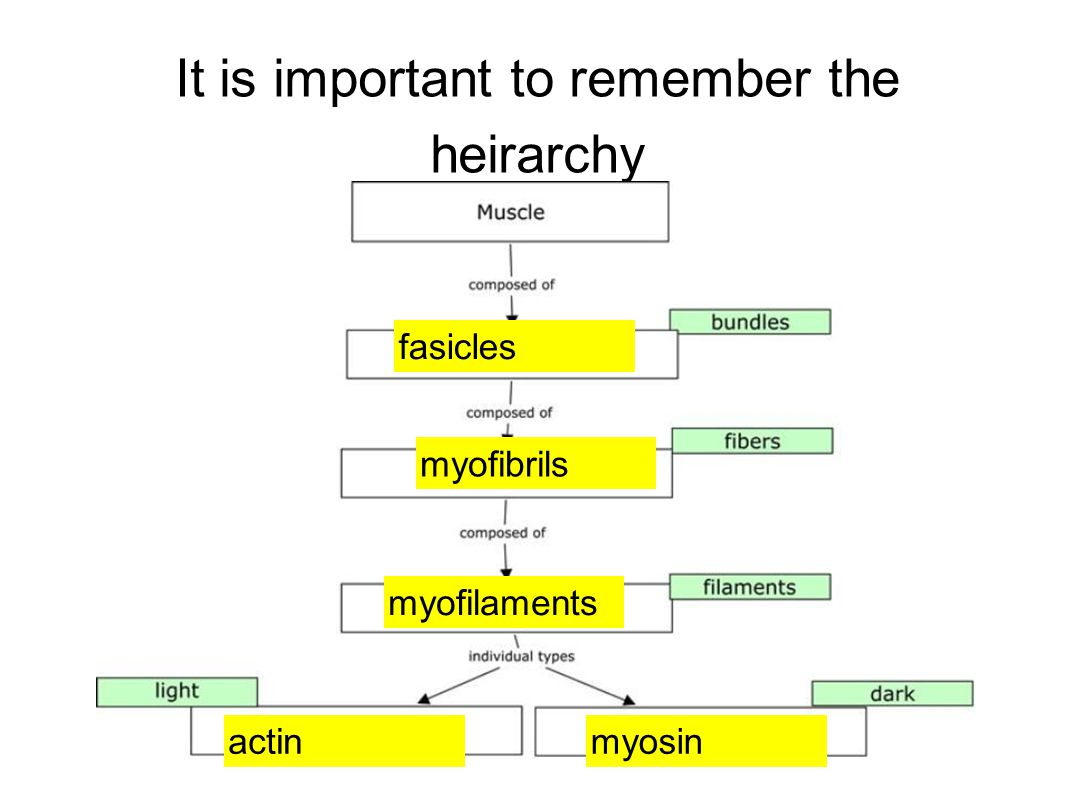It is important to remember the heirarchy fasicles myofibrils myofilaments actinmyosin