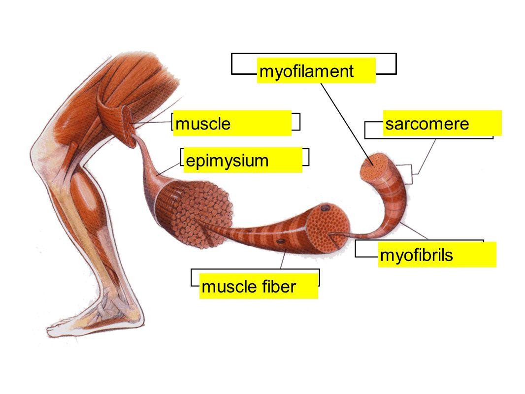 muscle epimysium myofibrils sarcomere muscle fiber myofilament