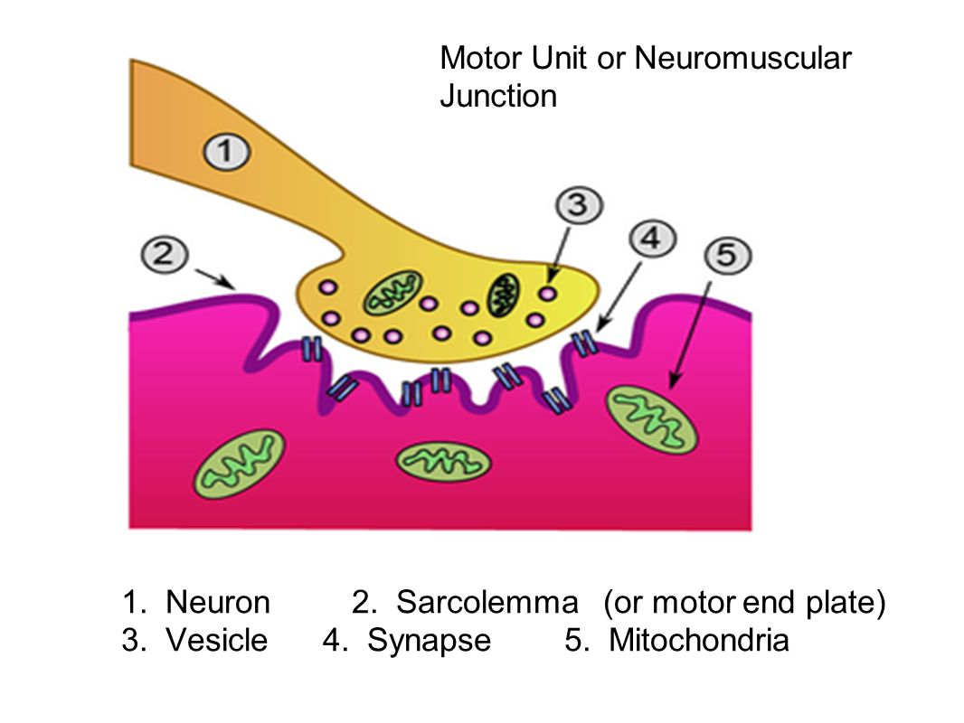 1. Neuron 2. Sarcolemma (or motor end plate) 3. Vesicle 4. Synapse 5. Mitochondria Motor Unit or Neuromuscular Junction