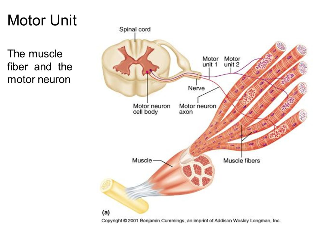 Motor Unit The muscle fiber and the motor neuron