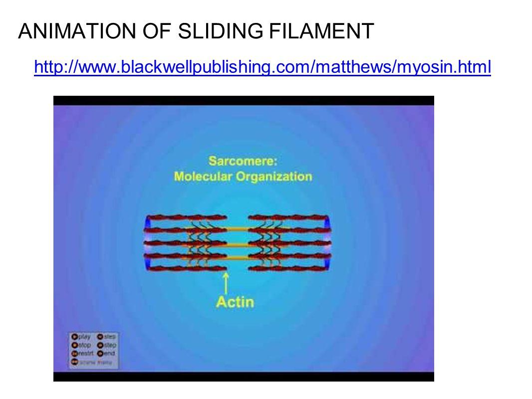 ANIMATION OF SLIDING FILAMENT http://www.blackwellpublishing.com/matthews/myosin.html