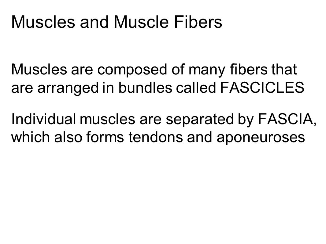 Muscles and Muscle Fibers Muscles are composed of many fibers that are arranged in bundles called FASCICLES Individual muscles are separated by FASCIA