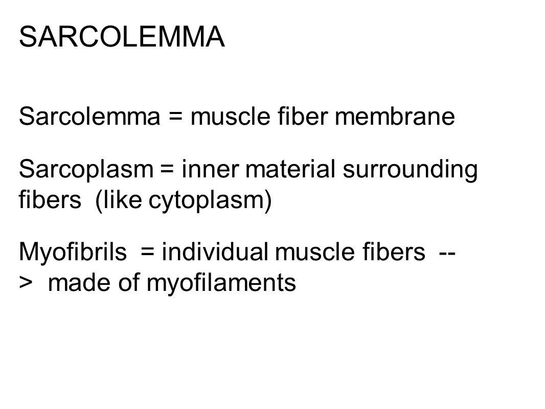SARCOLEMMA Sarcolemma = muscle fiber membrane Sarcoplasm = inner material surrounding fibers (like cytoplasm) Myofibrils = individual muscle fibers -- > made of myofilaments
