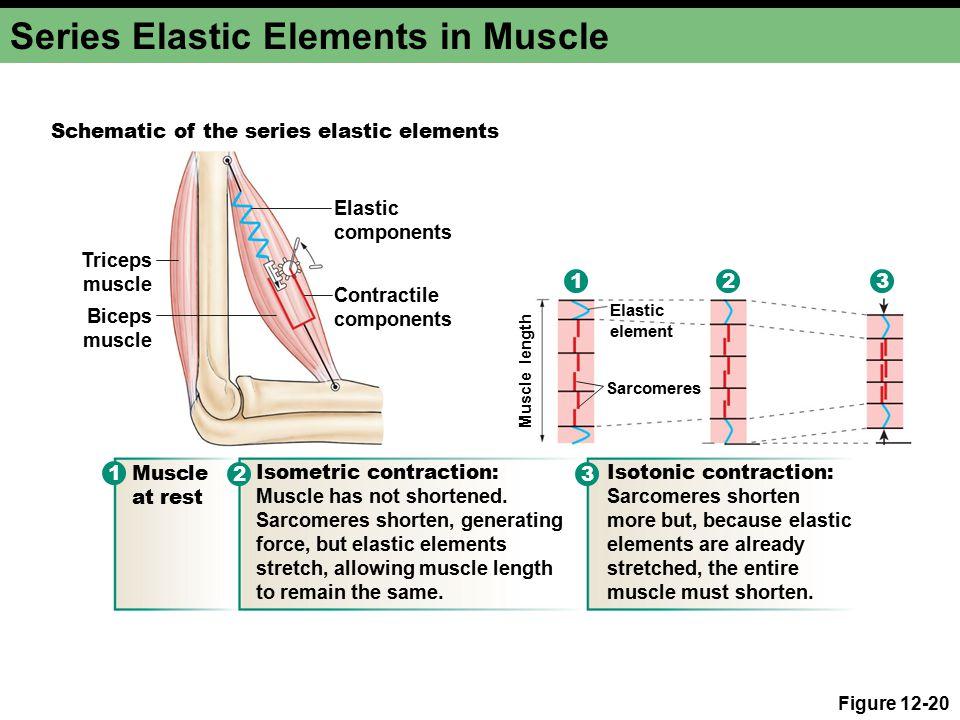 Series Elastic Elements in Muscle Figure 12-20 Contractile components Elastic components Triceps muscle Biceps muscle Elastic element Sarcomeres Schem