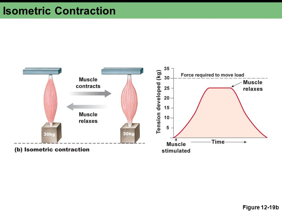 Isometric Contraction Figure 12-19b