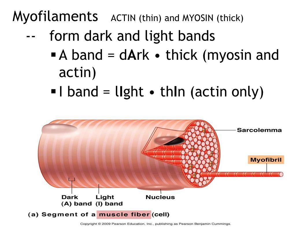 Myofilaments ACTIN (thin) and MYOSIN (thick) -- form dark and light bands  A band = dArk thick (myosin and actin)  I band = lIght thIn (actin only)