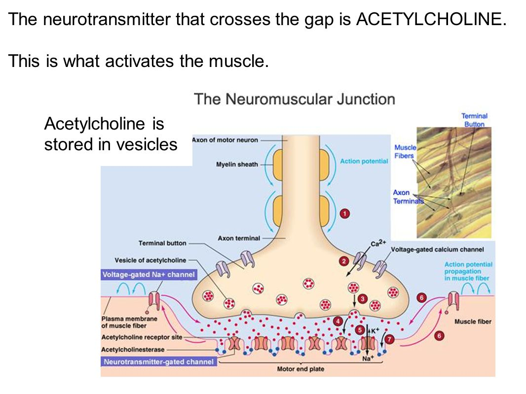 The neurotransmitter that crosses the gap is ACETYLCHOLINE. This is what activates the muscle. Acetylcholine is stored in vesicles