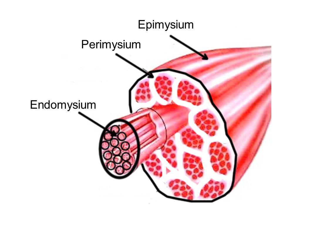 Epimysium Perimysium Endomysium