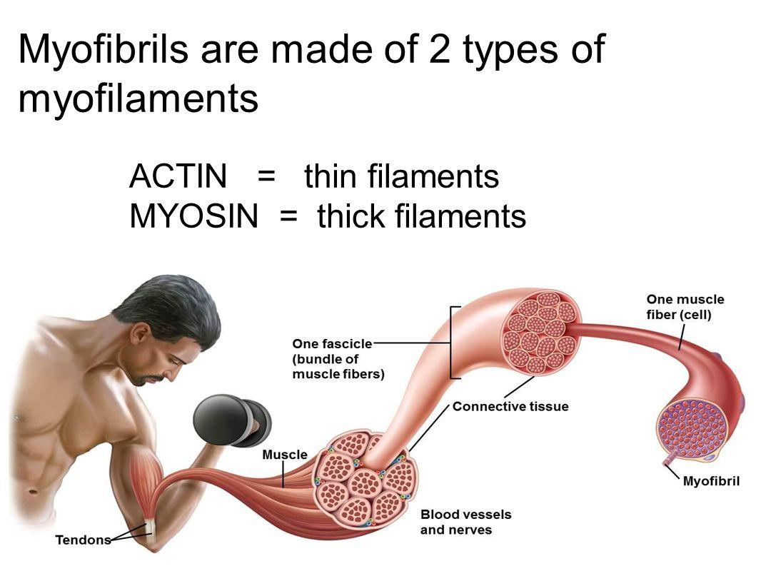 Myofibrils are made of 2 types of myofilaments ACTIN = thin filaments MYOSIN = thick filaments