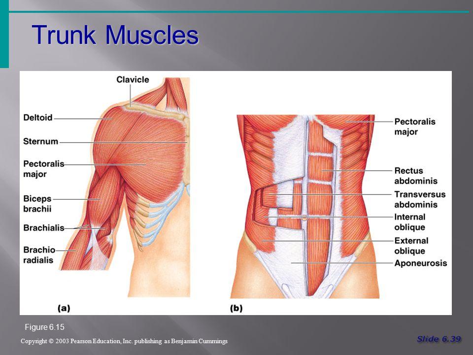 Trunk Muscles Copyright © 2003 Pearson Education, Inc. publishing as Benjamin Cummings Figure 6.15