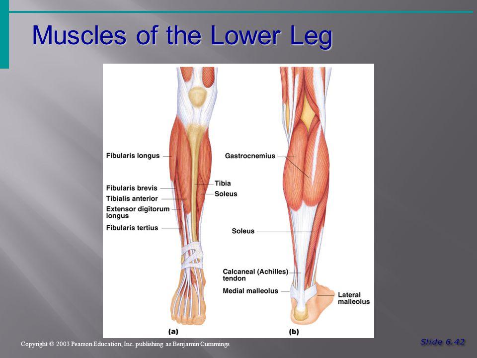 Muscles of the Lower Leg Copyright © 2003 Pearson Education, Inc. publishing as Benjamin Cummings Figure 6.19