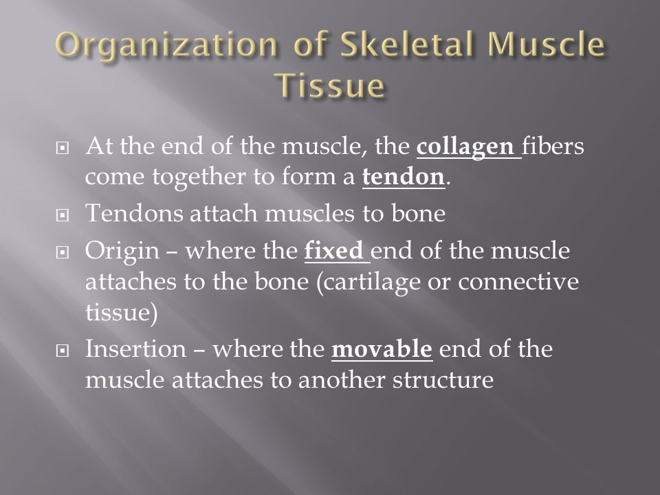  At the end of the muscle, the collagen fibers come together to form a tendon.  Tendons attach muscles to bone  Origin – where the fixed end of the