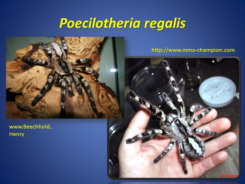 Poecilotheria regalis http://www.mmo-champion.com www.Beechhold, Henry