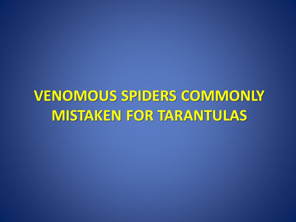 VENOMOUS SPIDERS COMMONLY MISTAKEN FOR TARANTULAS