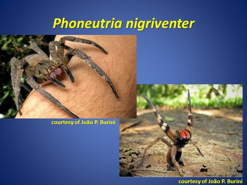 Phoneutria nigriventer courtesy of João P. Burini