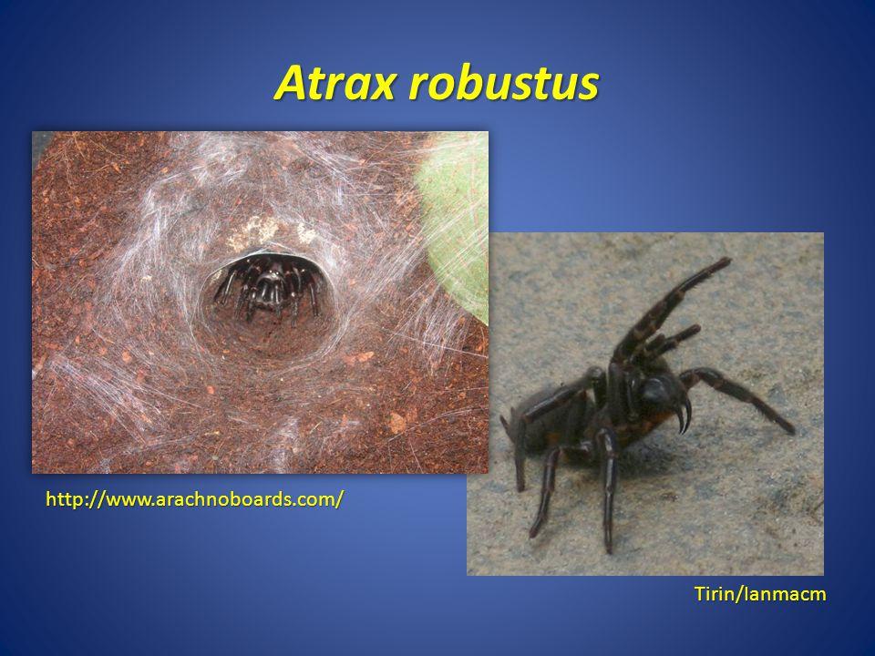 Atrax robustus Tirin/Ianmacm http://www.arachnoboards.com/
