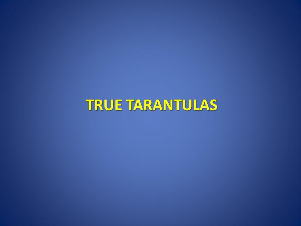 TRUE TARANTULAS