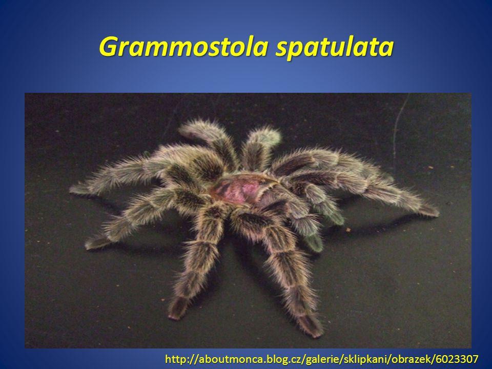 Grammostola spatulata http://aboutmonca.blog.cz/galerie/sklipkani/obrazek/6023307