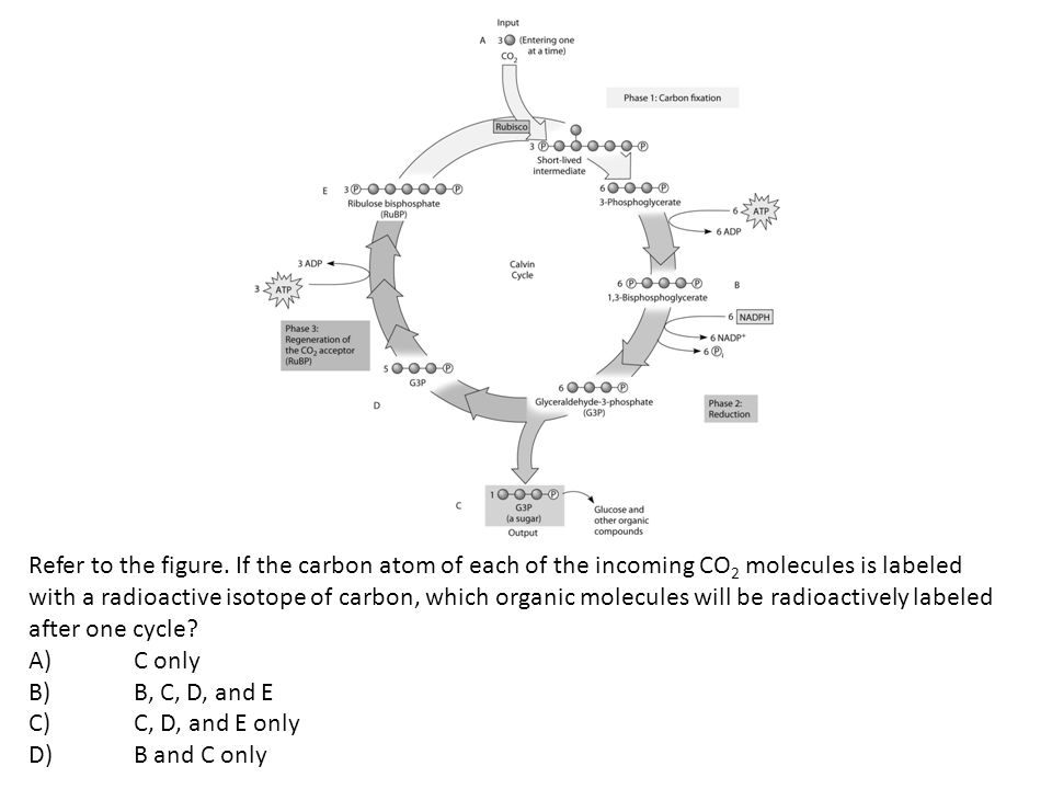 Refer to the figure. If the carbon atom of each of the incoming CO 2 molecules is labeled with a radioactive isotope of carbon, which organic molecule