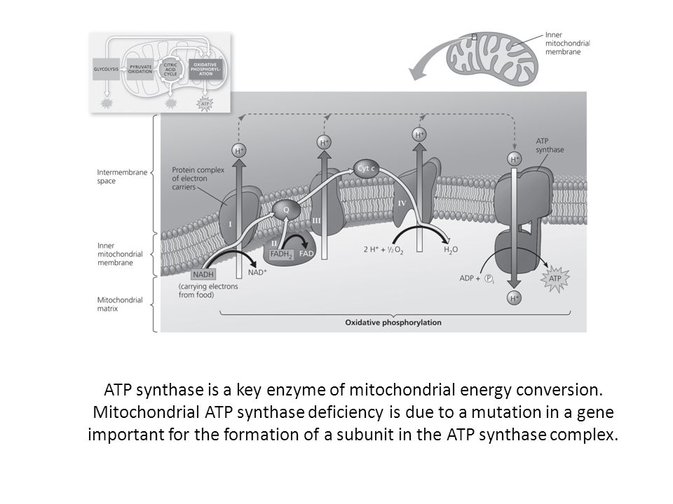 ATP synthase is a key enzyme of mitochondrial energy conversion. Mitochondrial ATP synthase deficiency is due to a mutation in a gene important for th