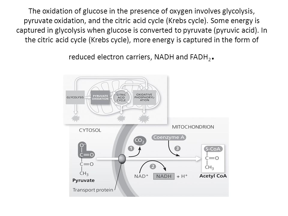 The oxidation of glucose in the presence of oxygen involves glycolysis, pyruvate oxidation, and the citric acid cycle (Krebs cycle). Some energy is ca