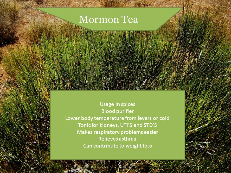 Mormon Tea Usage in spices Blood purifier Lower body temperature from fevers or cold Tonic for kidneys, UTI'S and STD'S Makes respiratory problems easier Relieves asthma Can contribute to weight loss