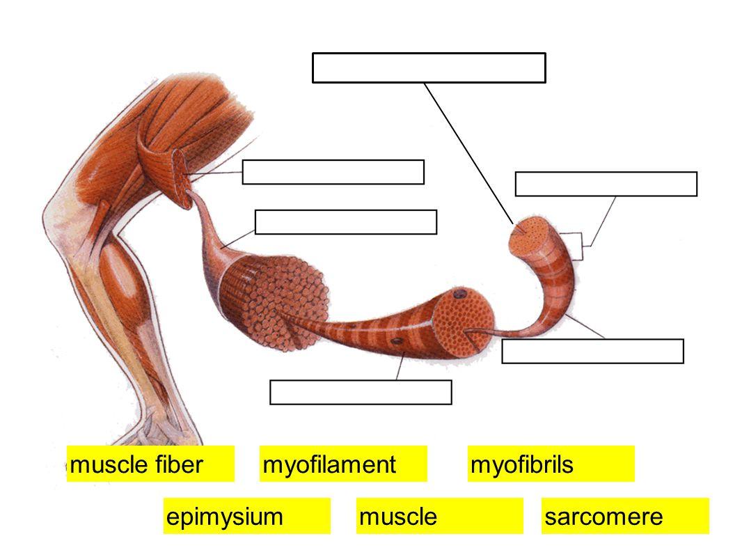 muscleepimysium myofibrilsmyofilament sarcomere muscle fiber