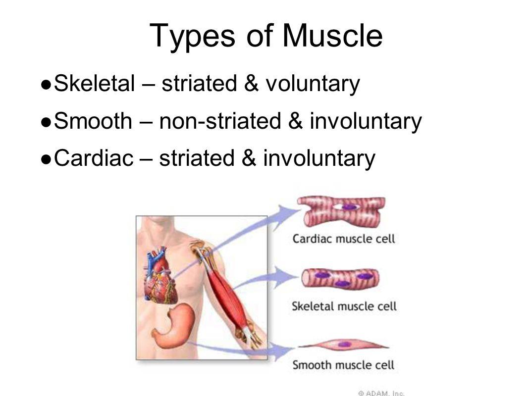 Types of Muscle ● Skeletal – striated & voluntary ● Smooth – non-striated & involuntary ● Cardiac – striated & involuntary
