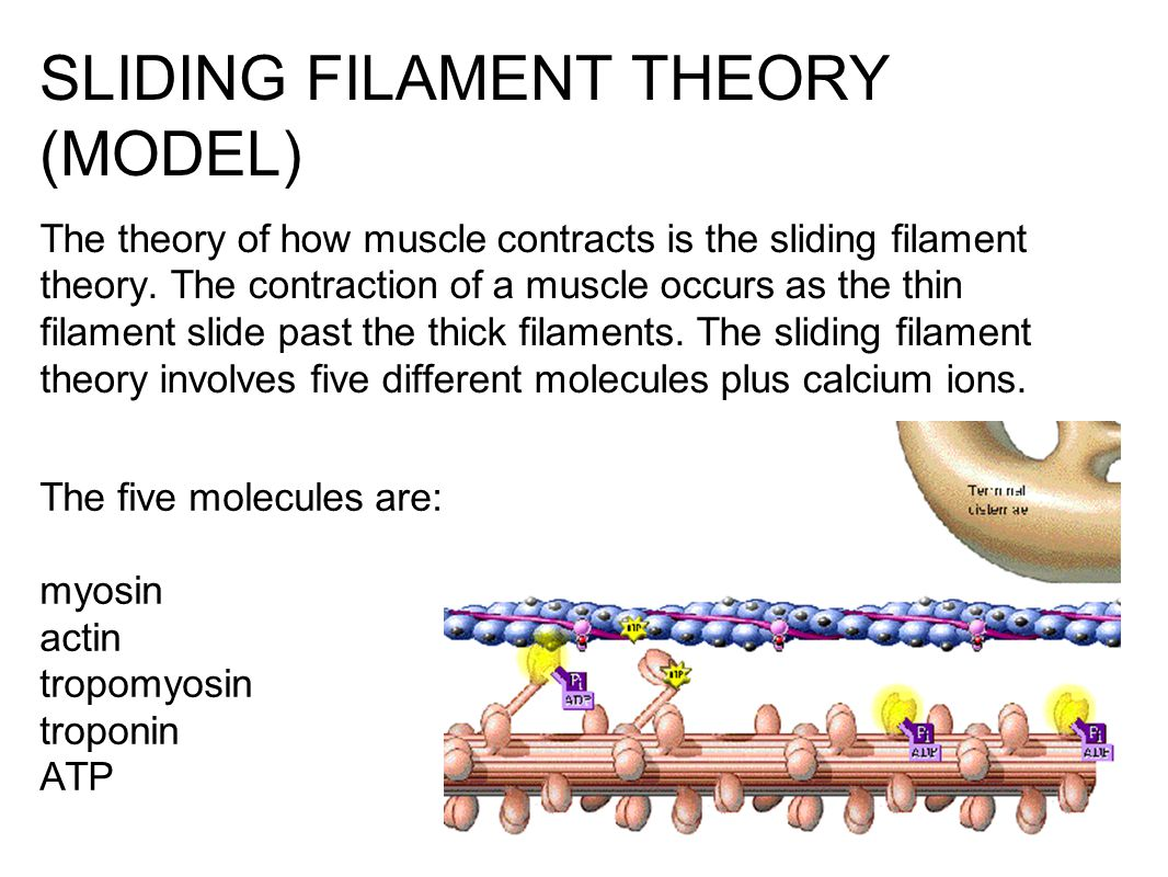 SLIDING FILAMENT THEORY (MODEL) The theory of how muscle contracts is the sliding filament theory. The contraction of a muscle occurs as the thin fila
