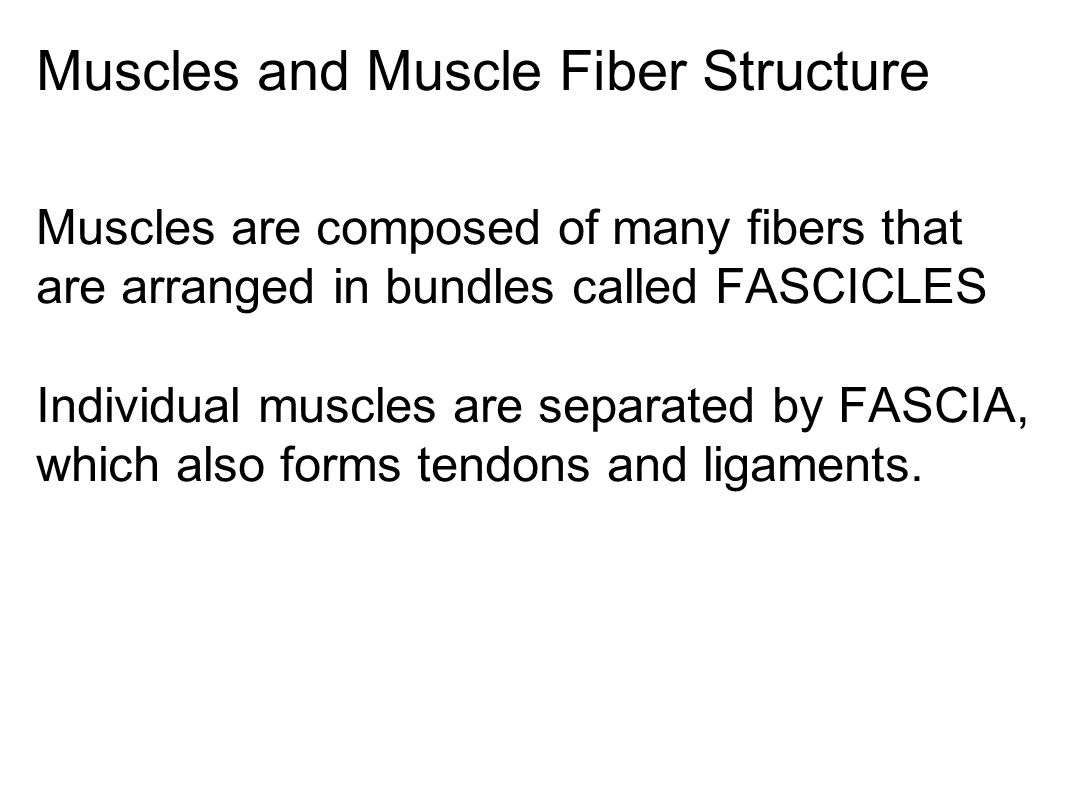 Muscles and Muscle Fiber Structure Muscles are composed of many fibers that are arranged in bundles called FASCICLES Individual muscles are separated