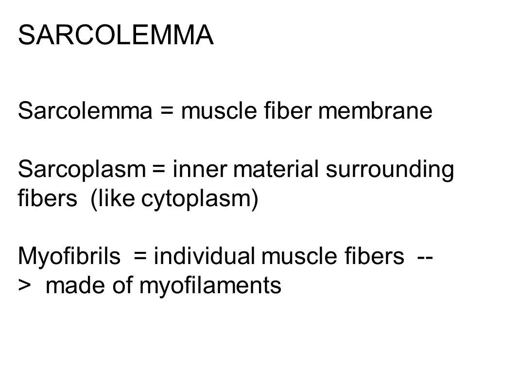 SARCOLEMMA Sarcolemma = muscle fiber membrane Sarcoplasm = inner material surrounding fibers (like cytoplasm) Myofibrils = individual muscle fibers --